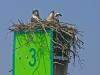 3_ospreys